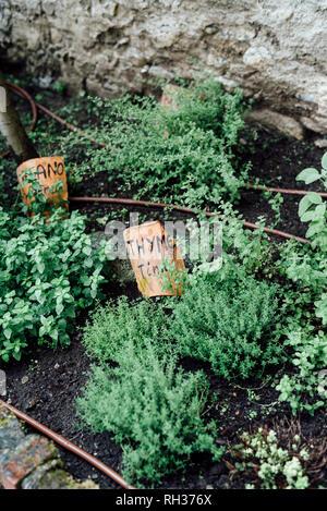 Herbs in garden - Stock Image