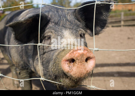 Large Black British pig a breed of domestic pig with focus on dirty muddy nose - Stock Image