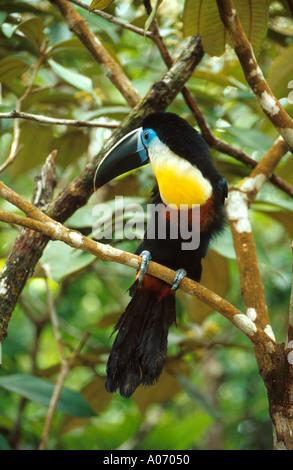 Channel-Billed Toucan or Sulphur and White Breasted Toucan, Ramphastos vitellinus vitellinus, Ramphastidae, Venezuela. - Stock Image