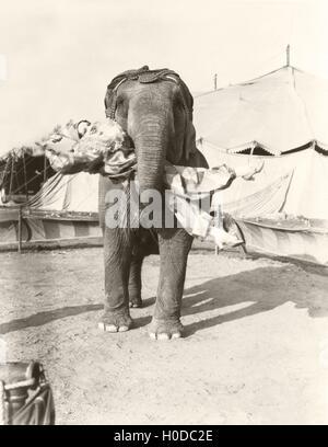 Elephant lifting female clown at circus - Stock Image