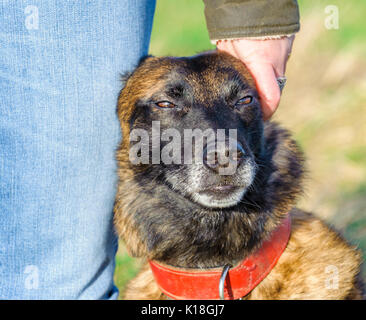 Portrait of a Belgium Malinois dog sat at the side of her owner showing affection - Stock Image