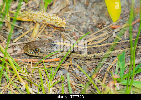 Western Terrestrial Garter Snake (Thamnophis elegans) warming in morning sun, Castle Rock Colorado US. Photo taken in June. - Stock Image