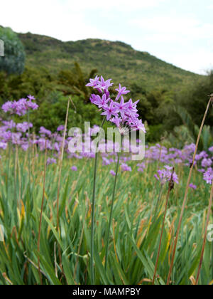 Tulbaghia violacea Society Garlic Alliaceae growing in Kwa Zula Natal, South Africa - Stock Image