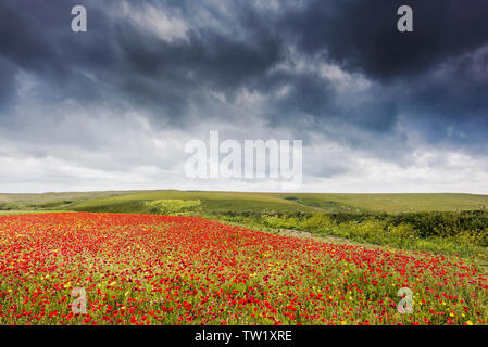 Ominous rain clouds gathering over a field of Common Poppies Papaver rhoeas and Corn Marigolds Glebionis segetum growing on West Pentire in Newquay in - Stock Image