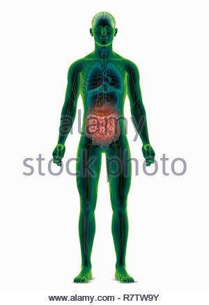 Computer generated biomedical illustration of the human body highlighting the intestines - Stock Image