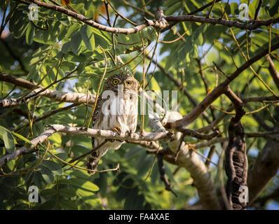 Ferruginous Pygmy Owl, Glaucidium Brasilianum, perched on branch in a tree in the Pantanal, Mato Grosso, Brazil, - Stock Image