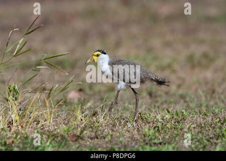 Juvenile Masked Lapwing (Vanellus miles), Cape York Peninsula, Far North Queensland, FNQ, QLD, Australia - Stock Image