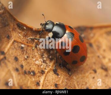 11-spot Ladybird (Coccinella undecimpunctata) perched on fallen leaf in winter. Tipperary, Ireland - Stock Image