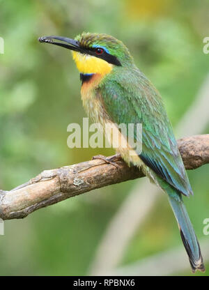 A   little bee-eater (Merops pusillus) with a hoverfly in its beak.  Queen Elizabeth National Park, Uganda. - Stock Image
