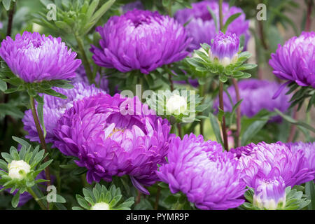 Close up of aster duchess mixed China Aster, Aster Chinensis, Aster Pompon, Aster Paeony. Callistephus chinensis - Stock Image