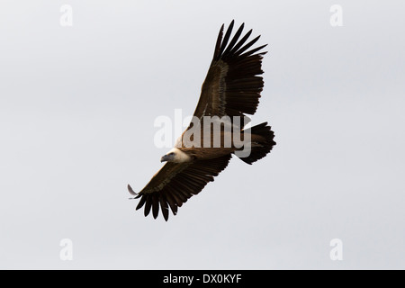 Griffon Vulture, Gänsegeier, Gyps fulvus, Monfragüe National Park, Spain, Extremadura, soaring - Stock Image
