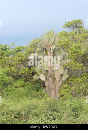 Opuntia or  prickly pear (Opuntia saxicola). This species is endemic to Isabela and is on the  IUCN Red List of - Stock Image