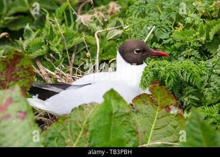Black Headed Gull, Chroicocephalus ridibundus nesting on the Farne Islands, Northumberland, UK. - Stock Image