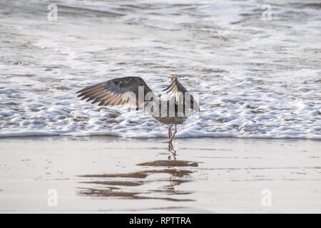 Juvenile seagull with outstretched wings running against the incoming tide, Morocco, Africa - Stock Image