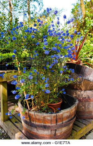 Spring has Sprung, finally with the warm weather, plants are blooming and bees are pollinating.Ceanothus Californian - Stock Image