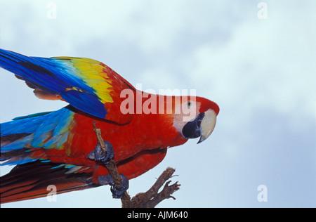 Scarlet macaw Aca macao Costa Rica Tame bird - Stock Image