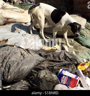 Dog at the rubbish tip - Stock Image