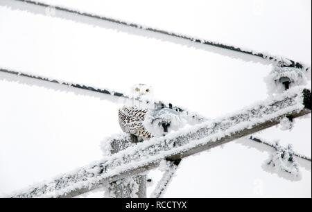 Winter Frost Saskatchewan Canada ice storm Snowy Owl - Stock Image
