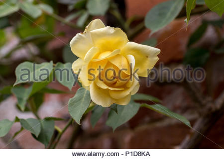 Yellow climbing rose discovered in 1888 'Duchesse d'Auerstadt' - Stock Image