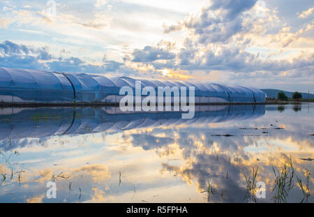 Greenhouses between flooded rice field at sunset. Agricultural landscape in Extremadura, Spain - Stock Image
