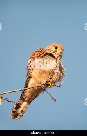 female Common Kestrel, Falco tinnunculus, looking for prey on ground, Hampstead Heath, London, United Kingdom - Stock Image