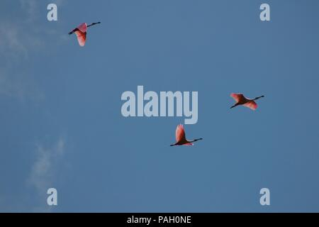 Roseate Spoonbill (Platalea ajaja) in flight - Stock Image