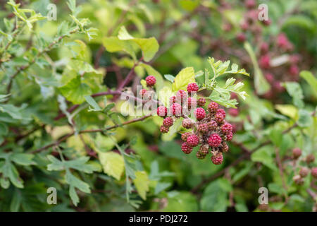 Cluster of red ripening blackberry fruits growing in a hedgerow in Wiltshire - Stock Image