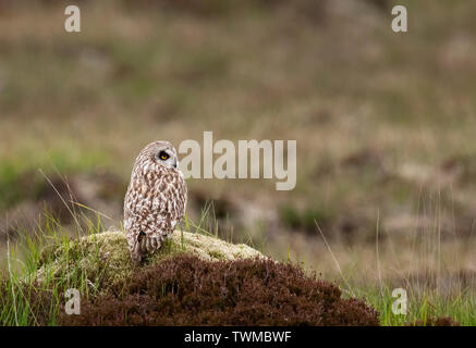 A wild Short Eared Owl (Asio Flammeus)perched on top of mound, North Uist, Outer Hebrides, Scotland - Stock Image