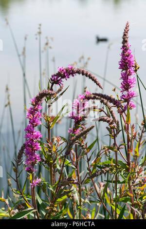 Purple loosestrife by lake - Stock Image