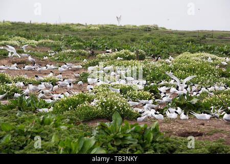 Sandwich Terns, Thalasseus sandvicensis nesting on the Farne Islands, Northumberland, UK. - Stock Image