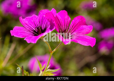 Armenian cranesbill (Geranium psilostemon), Additional-Rights-Clearance-Info-Not-Available - Stock Image