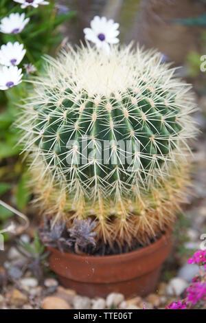 golden barrel cactus inside greenhouse - Stock Image