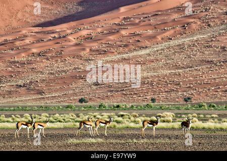 Herd of Springbok, Antidorcas marsupialis, in Nabib-Naukluft National Park, Namib Desert, Sossusvlei, Namibia, Africa - Stock Image