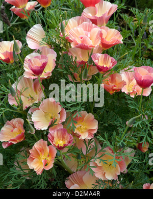 red and pink California Poppies - Stock Image