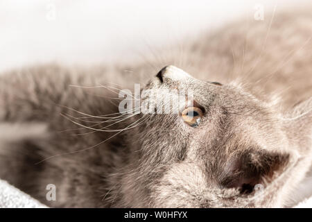 cute domestic kitten lying on white towel and looking up. suitable for animal, pet and wildlife themes - Stock Image