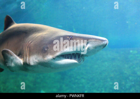 Sharck - Stock Image