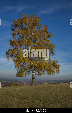 Individual Birch With Autumn Leaves In The Sunshine Against A Blue Sky - Stock Image