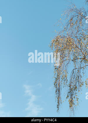 Autumnal orange leaves with blue sky. Probably a Birch / Betula tree. - Stock Image