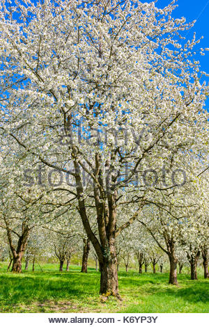 Germany, Baden-Württemberg, Schliengen. Blossoming cherry trees in the Eggenertal Valley in early spring. - Stock Image