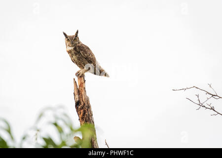 An adult male Great Horned Owl, Bubo virginianus, perched atop a dead tree in Oklahoma, USA. - Stock Image