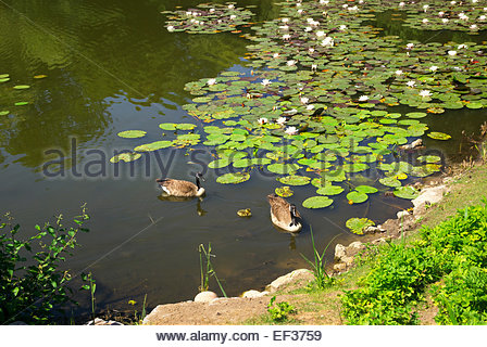 A pair of Canada geese with a baby gosling swim in a pond at the botanical garden of University of Münster, - Stock Image