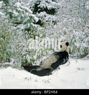 Giant panda lying back in snow after feeding, Wolong China - Stock Image