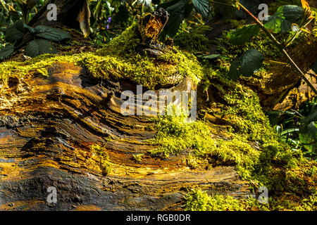 Moss growing on the log of a felled tree in a wood in the Baggeridge Park - Stock Image