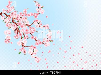 Sakura. Branches with pastel flowers, leaves and cherry buds. Cherry Petals. Transparent Background illustration - Stock Image