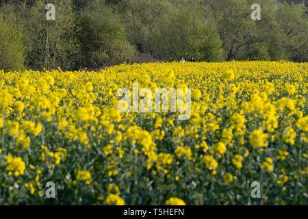 Rapeseed fields in Warwickshire, UK, 11 April 2019. - Stock Image