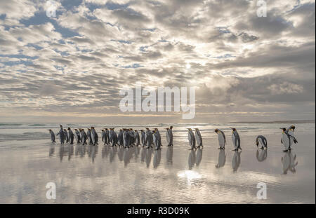 King Penguin (Aptenodytes patagonicus) on the Falkland Islands in the South Atlantic. - Stock Image