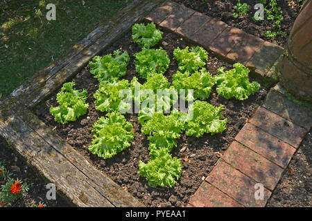 Lettuce 'Lollo Bionda' in a raised contained part of a vegetable garden - Stock Image
