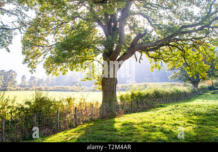 Light filters through a large oak tree along a fenceline between grazing pastures in Shropshire, England. - Stock Image
