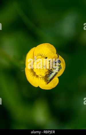 Insect cover in pollen from buttercup wild flower - Stock Image