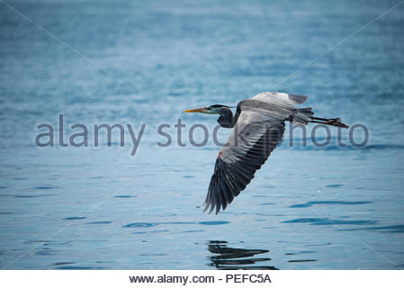 A heron flying above the ocean. - Stock Image